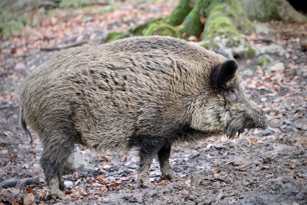 Mahlsdorf LIVE - Mahlsdorfer Wildschweine: Jäger erhalten Kopfgeld pro Abschuss, um das es nun Ärger gibt