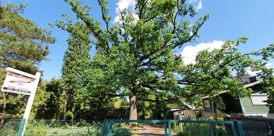 Mahlsdorf LIVE - Der Baum in seiner ganzen Pracht im Sommer.