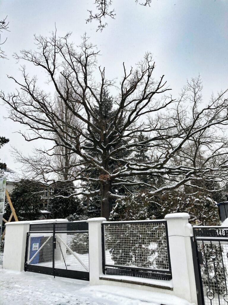 Mahlsdorf LIVE - Die alte Eiche vor wenigen Tagen. Es war ihr letzter Winter.